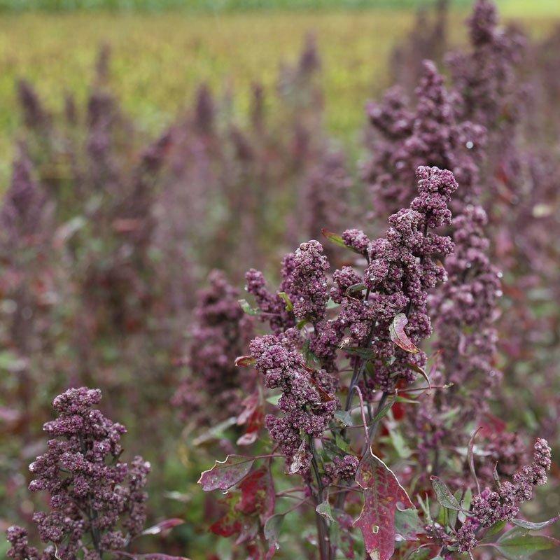 Naturfriseur Pflanzenfarbe Rohstoff Quinoa